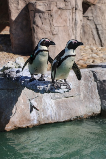 African Penguins at SAMREC