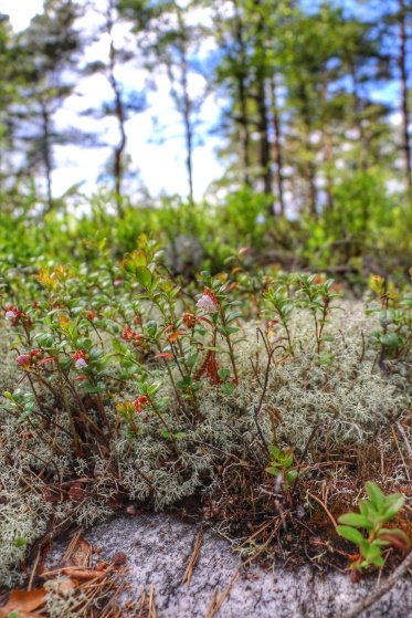Lingonberry flowers in the moss