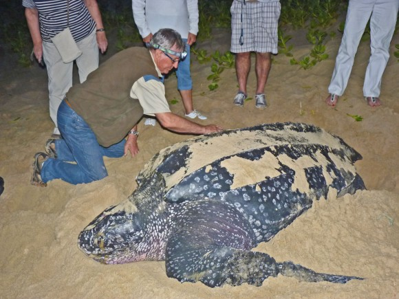 The turtle monitors measuring a giant Leatherback