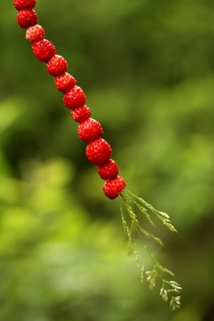 Wild strawberries the traditional way: on a straw!
