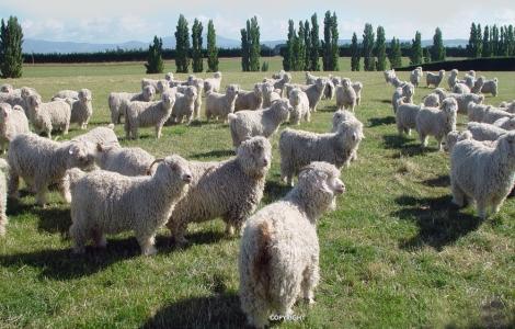Angora Goat (image: angoragoat.com)