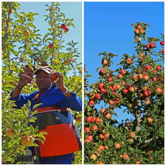 Apple harvest time in Elgin