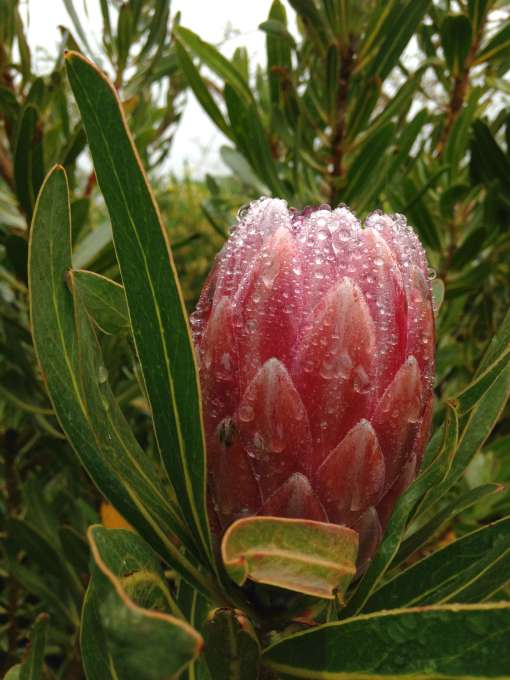 A sugarbush Protea is showing off despite the damp