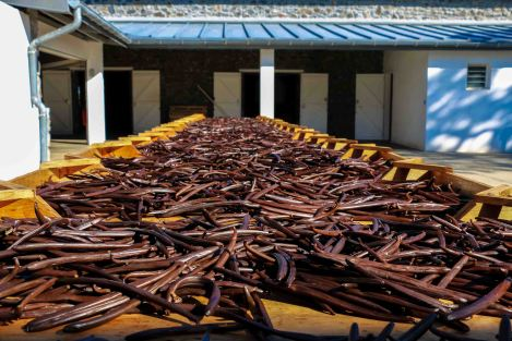 Vanilla beans sun-drying, a process that lasts for 2 weeks