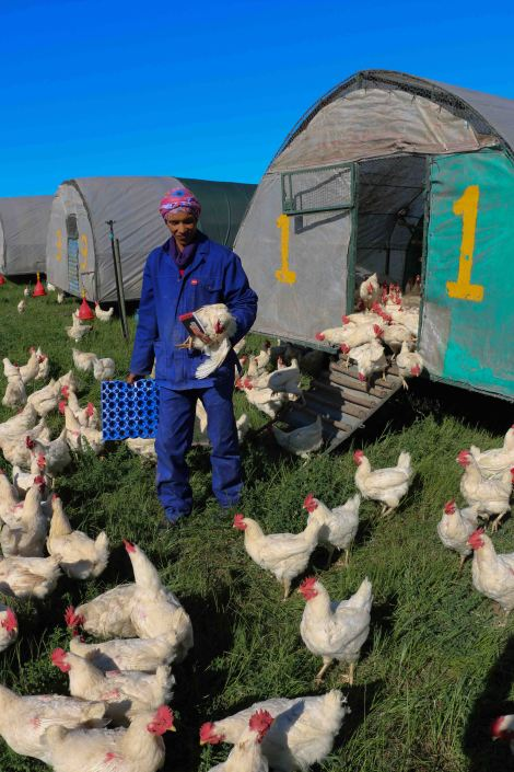 The free-range chicken farm at Spier