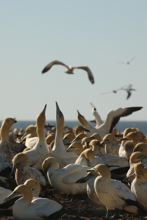 cape-gannets-10