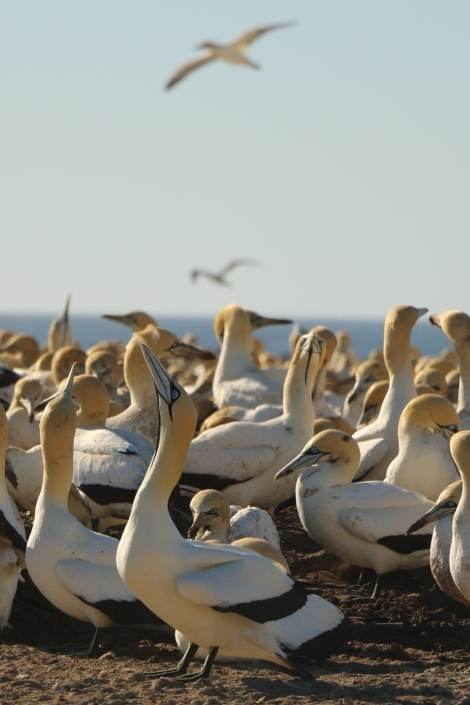 cape-gannets-11