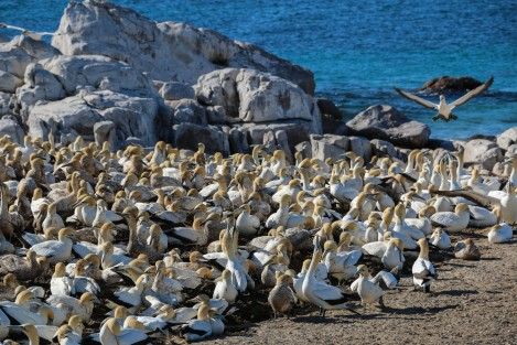 cape-gannets-2