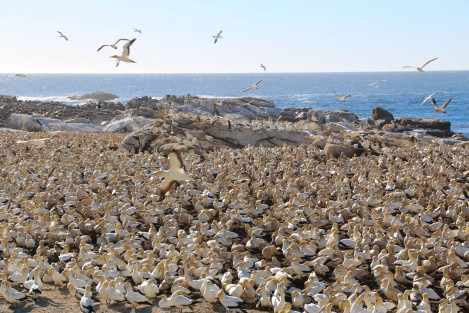 cape-gannets-3