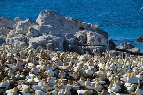 cape-gannets-4