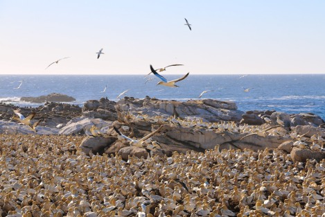 cape-gannets-5