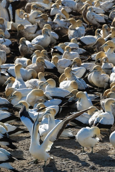 cape-gannets-6