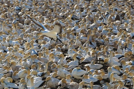 cape-gannets-7