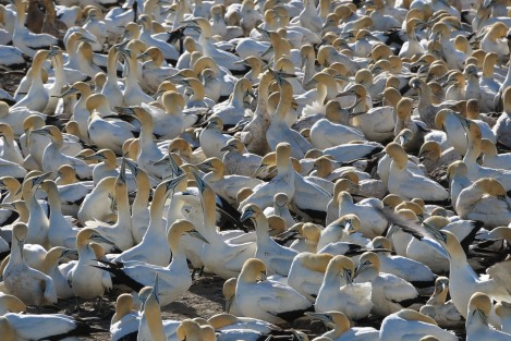 cape-gannets-8