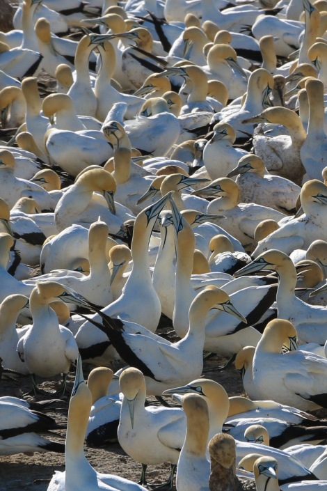cape-gannets-9